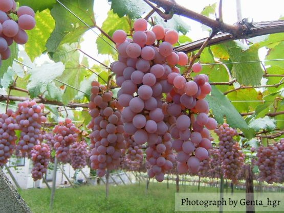 Koshu Wine – Indigenous to Japan