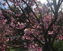 Cherry Blossoms in San Diego